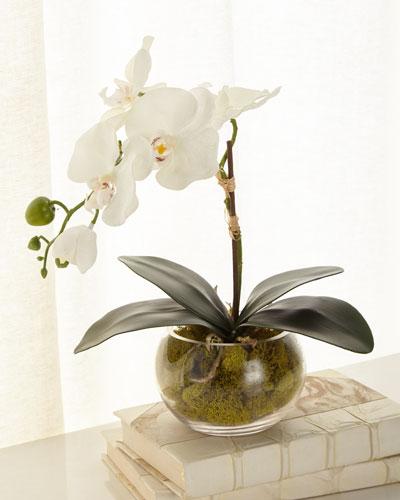Petite Phalaenopsis