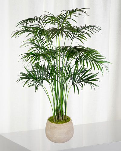 Kentia Large Palm in Planter